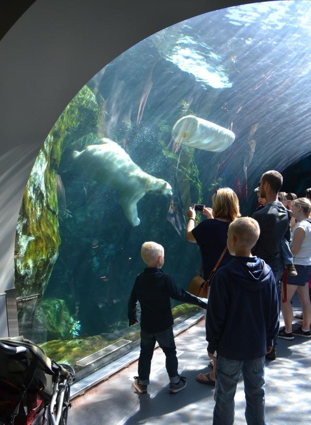 watching the polar bear swim